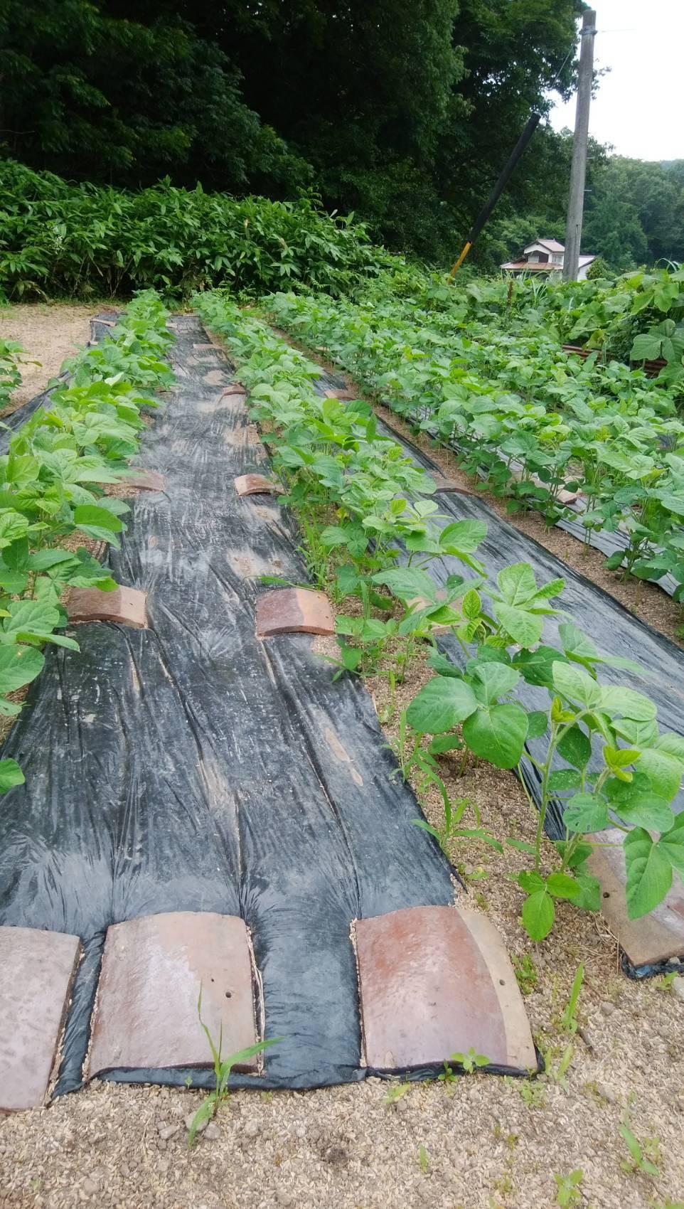 大豆の成長その後_b0270977_20443492.jpg