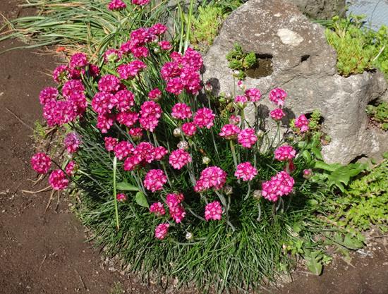 クレマチス・モンタナ、砂子、ダイアナさん、その他いろいろ初夏の花壇♪_a0136293_15394269.jpg