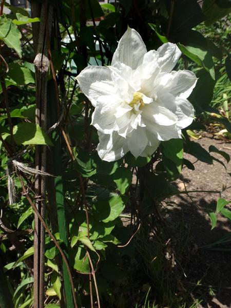 クレマチス・モンタナ、砂子、ダイアナさん、その他いろいろ初夏の花壇♪_a0136293_15443881.jpg