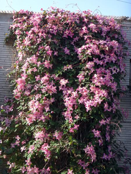 クレマチス・モンタナ、砂子、ダイアナさん、その他いろいろ初夏の花壇♪_a0136293_15445590.jpg