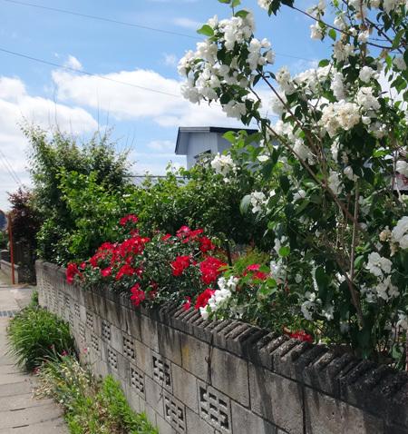 クレマチス・モンタナ、砂子、ダイアナさん、その他いろいろ初夏の花壇♪_a0136293_15485646.jpg