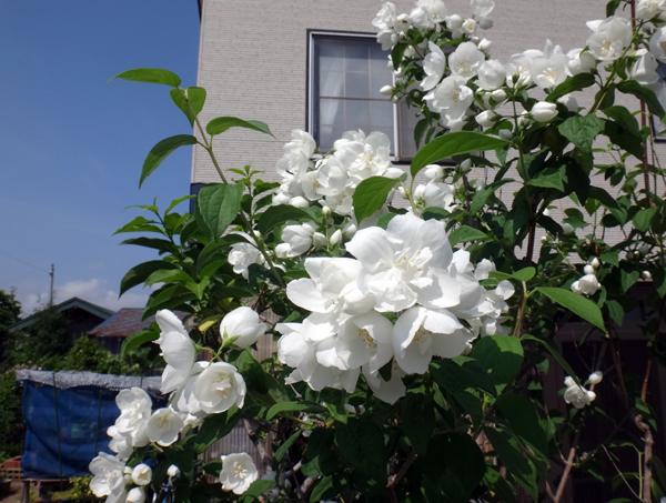 クレマチス・モンタナ、砂子、ダイアナさん、その他いろいろ初夏の花壇♪_a0136293_15500996.jpg