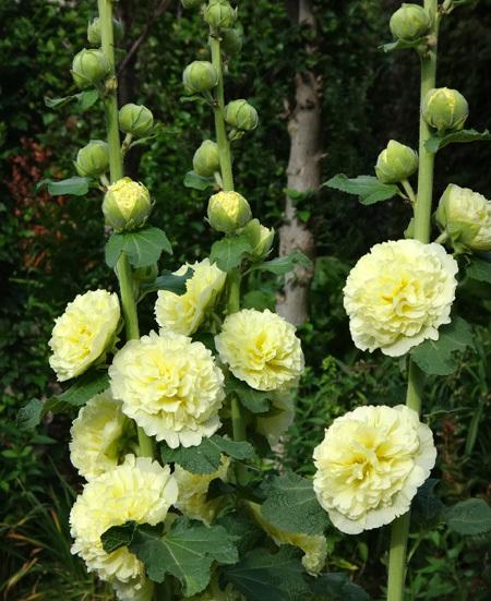 クレマチス・モンタナ、砂子、ダイアナさん、その他いろいろ初夏の花壇♪_a0136293_16035212.jpg