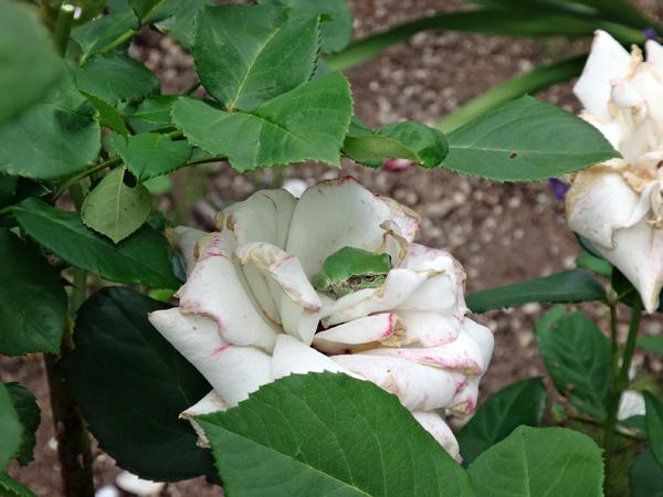 クレマチス・モンタナ、砂子、ダイアナさん、その他いろいろ初夏の花壇♪_a0136293_16110812.jpg