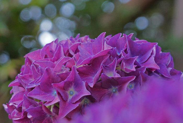 紫陽花_d0162994_10592603.jpg