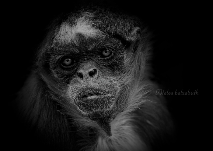 ケナガクモザル:Long-haired Spider Monkey _b0249597_06300291.jpg