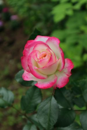 庭のバラさん達&ルビーちゃん♪_c0090198_18301501.jpg