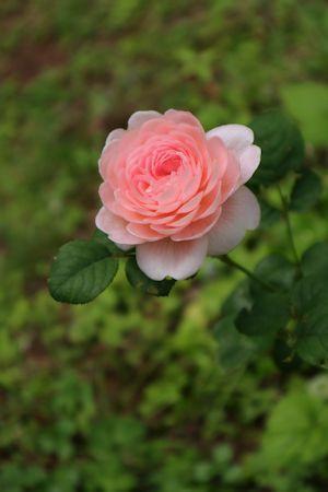 庭のバラさん達&ルビーちゃん♪_c0090198_18314231.jpg