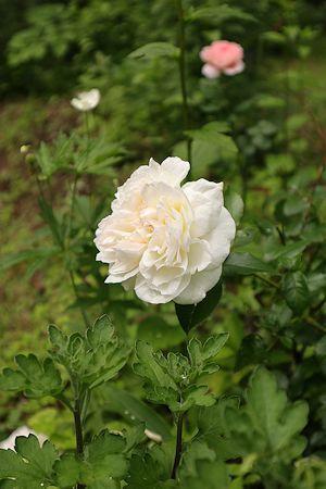 庭のバラさん達&ルビーちゃん♪_c0090198_18321042.jpg