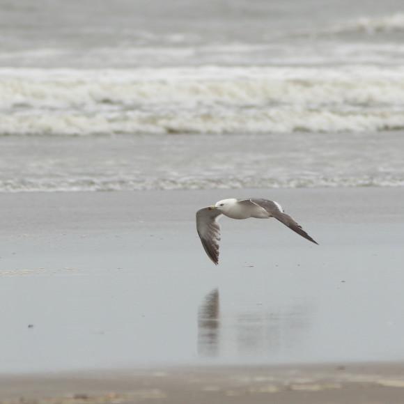 九十九里の海岸にいたウミネコ   MGG_d0346713_08392117.jpg