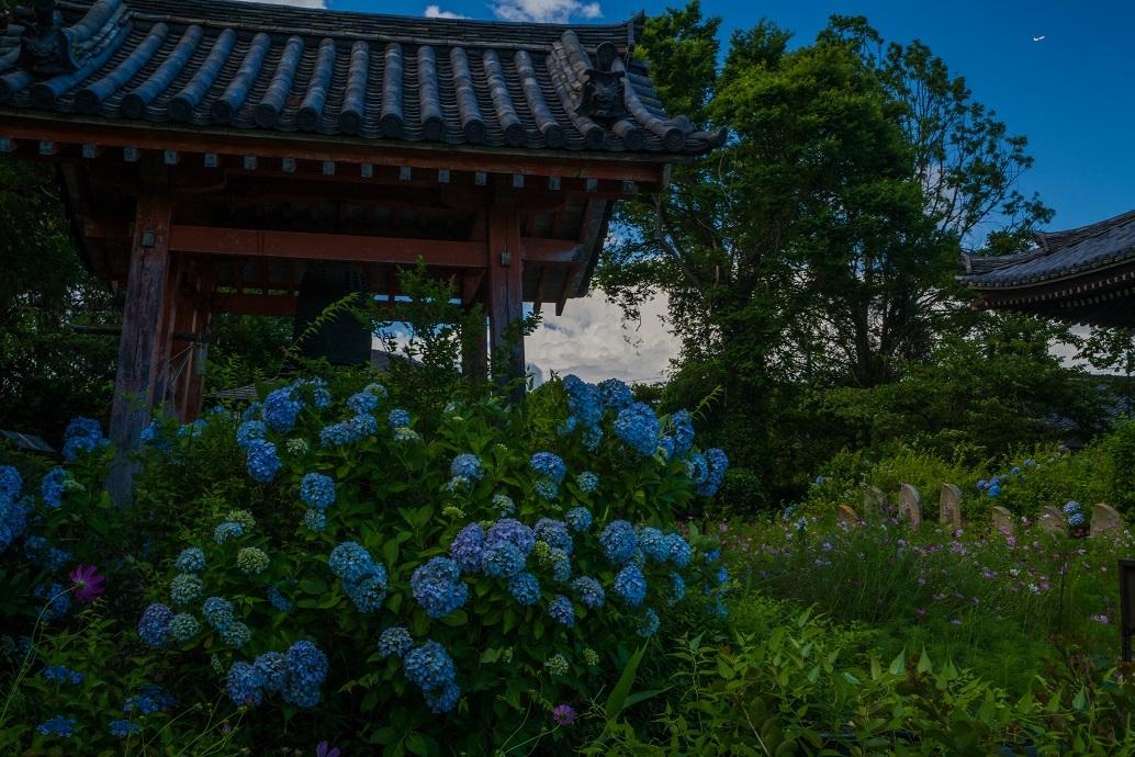 般若寺~初夏コスモスと紫陽花_e0363038_16492069.jpg