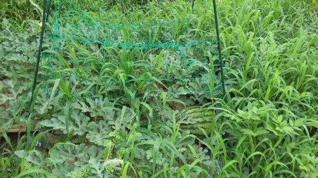 ついにタボ農園収穫!_c0174644_02345780.jpg