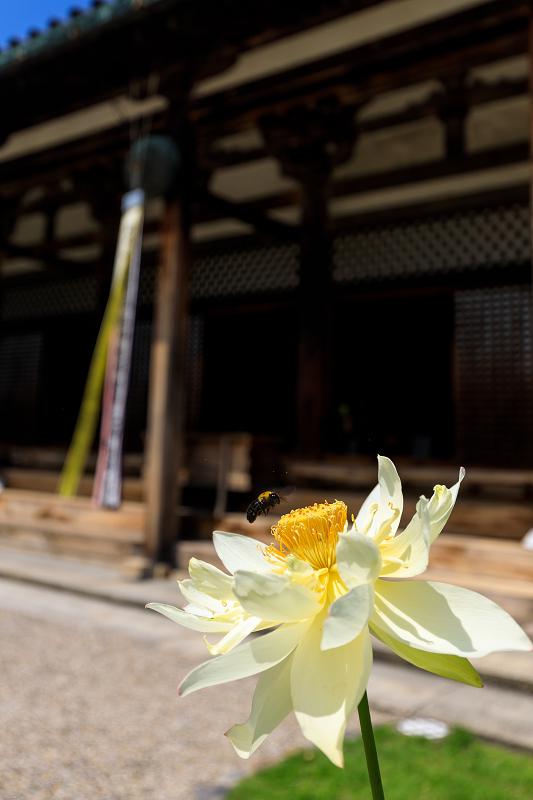 夏の花・蓮と桔梗(元興寺)_f0155048_23363997.jpg