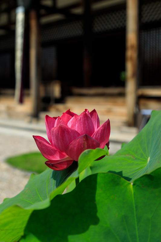 夏の花・蓮と桔梗(元興寺)_f0155048_23365318.jpg