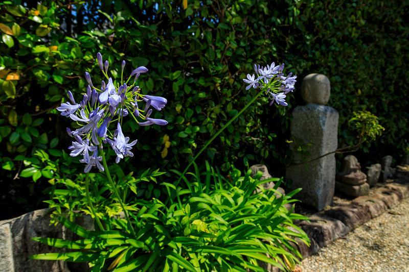 夏の花・蓮と桔梗(元興寺)_f0155048_23393544.jpg