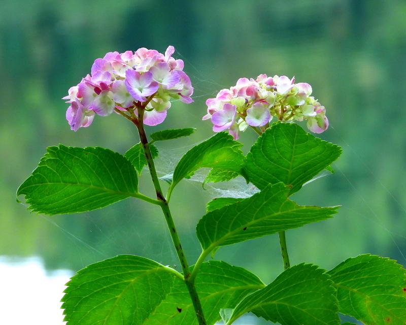 大塩湖畔で 7月のアジサイ ほか_c0305565_17500290.jpg