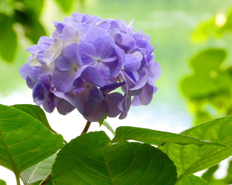 大塩湖畔で 7月のアジサイ ほか_c0305565_17502198.jpg