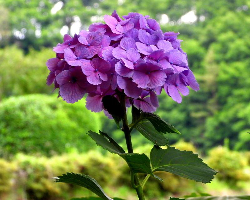 大塩湖畔で 7月のアジサイ ほか_c0305565_17503409.jpg