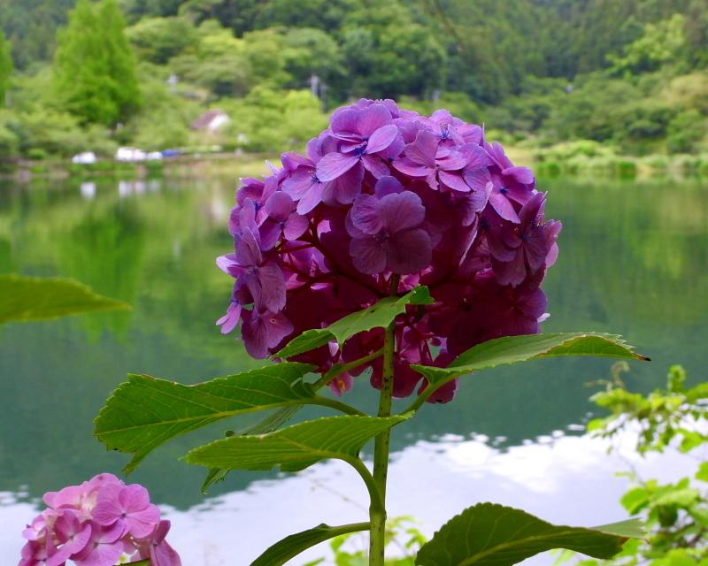 大塩湖畔で 7月のアジサイ ほか_c0305565_17504596.jpg