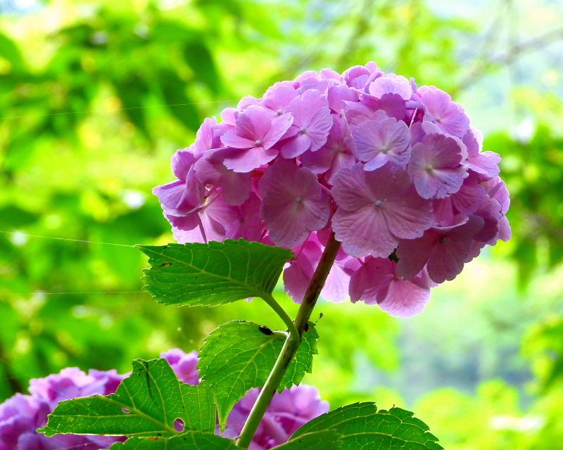 大塩湖畔で 7月のアジサイ ほか_c0305565_17510513.jpg