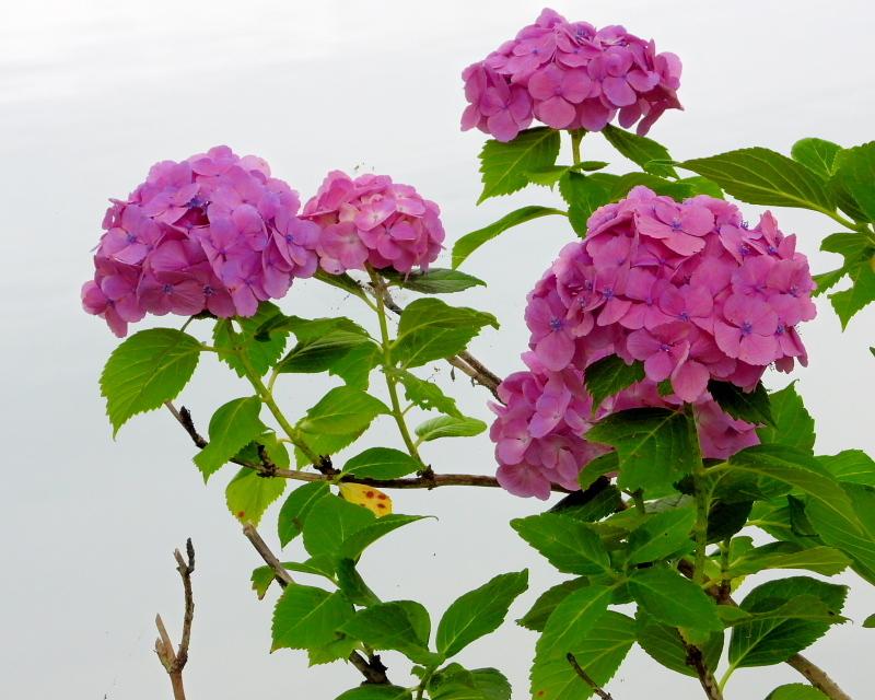 大塩湖畔で 7月のアジサイ ほか_c0305565_17512283.jpg