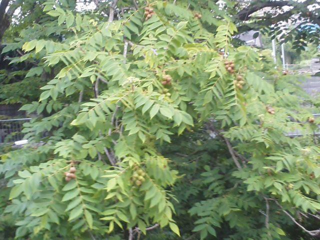 『教育の無償化』と『消費税10%増税』🌝 クルミの木たくさんの実が色づいてきました 🌝_f0061067_23533824.jpg