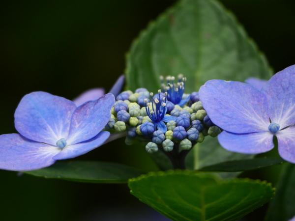 紫陽花から蓮へ..._a0351368_21545038.jpg