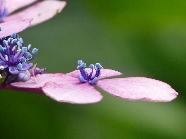 紫陽花から蓮へ..._a0351368_21552996.jpg