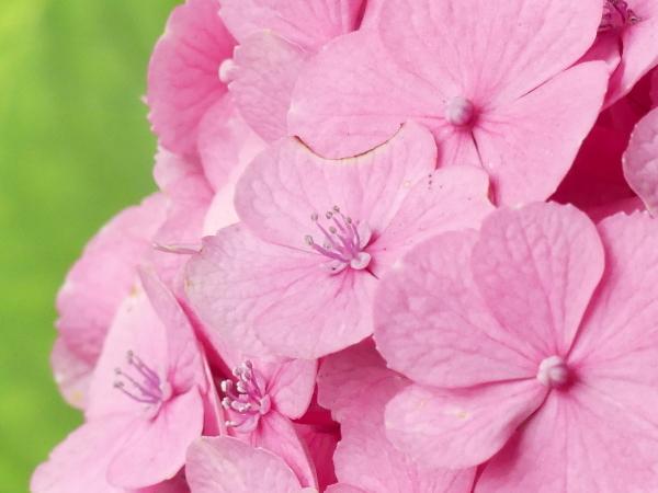 紫陽花から蓮へ..._a0351368_21561564.jpg