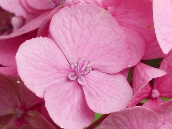 紫陽花から蓮へ..._a0351368_21563606.jpg