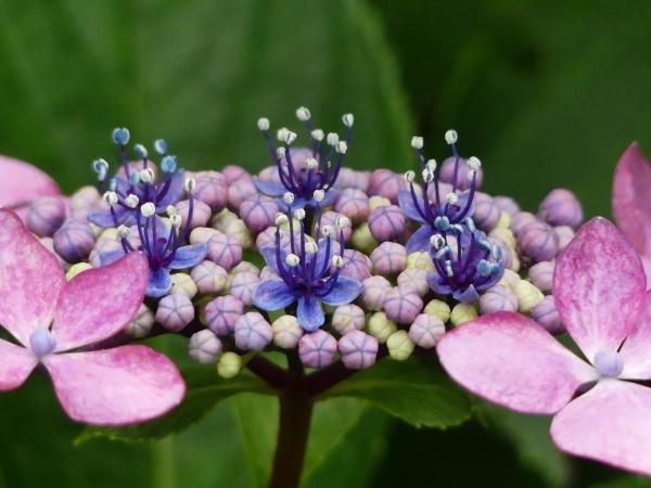 紫陽花から蓮へ..._a0351368_21572064.jpg