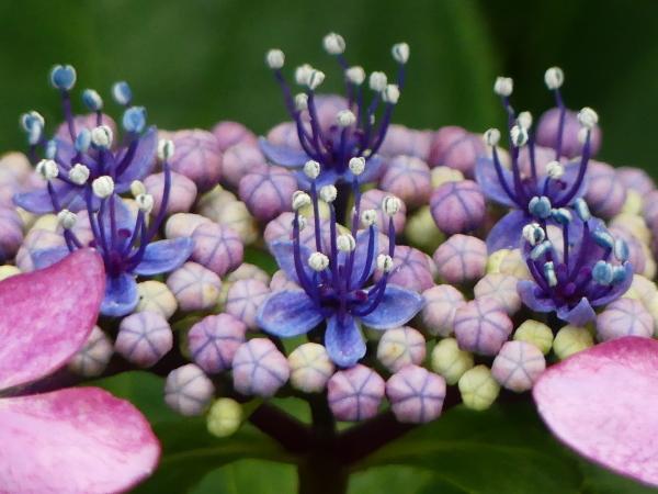 紫陽花から蓮へ..._a0351368_21574338.jpg