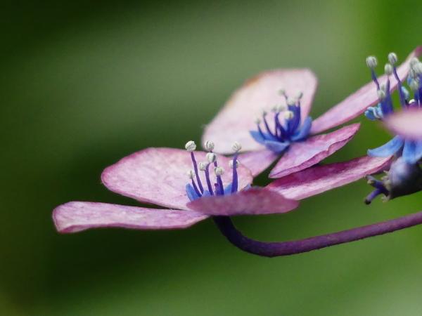 紫陽花から蓮へ..._a0351368_21580627.jpg