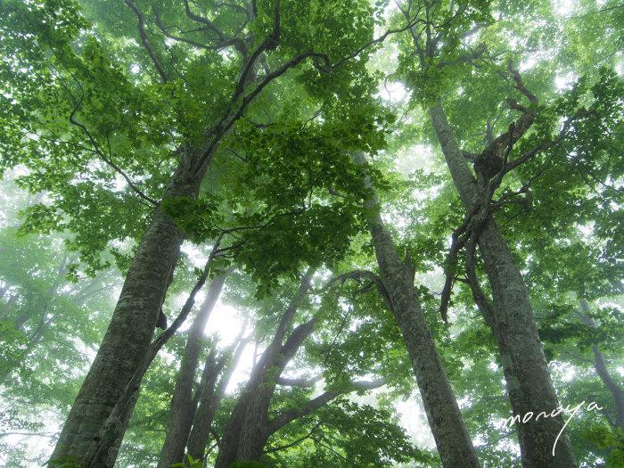 夏のブナ林_c0085877_05500796.jpg