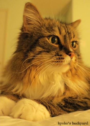 長毛の弟猫と短毛の姉猫_b0253205_04554815.jpg