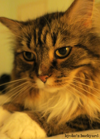 長毛の弟猫と短毛の姉猫_b0253205_04561194.jpg