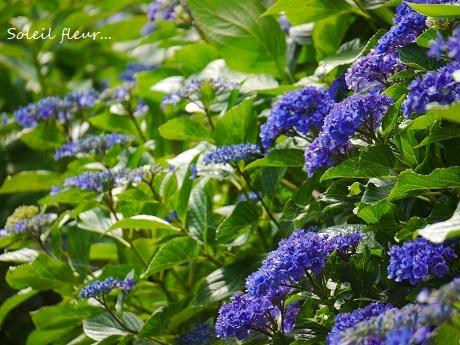 青のハーモニーが聴こえる季節☆_c0098807_16552866.jpg