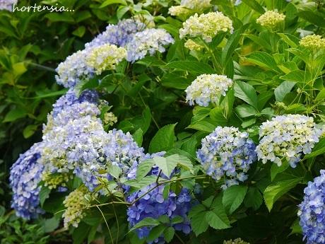 青のハーモニーが聴こえる季節☆_c0098807_19055522.jpg