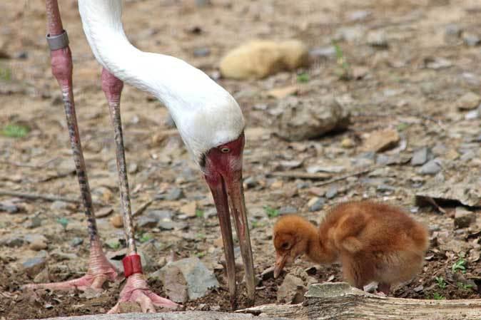 多摩動物公園ひな祭り~ソデグロヅルのヒナ_b0355317_22194345.jpg