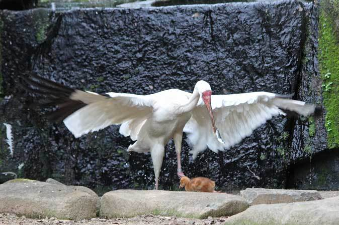 多摩動物公園ひな祭り~ソデグロヅルのヒナ_b0355317_22264216.jpg