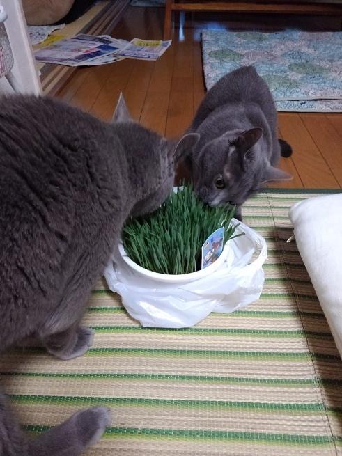 猫草買ってきた_d0152937_22375937.jpg