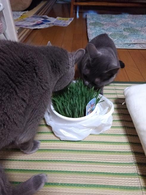 猫草買ってきた_d0152937_22375942.jpg