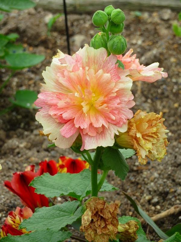 タチアオイの幼花20190707_e0237645_22305035.jpg