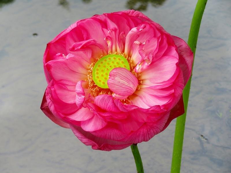 三種類の花が咲く「ハスの花」20190707_e0237645_23002678.jpg