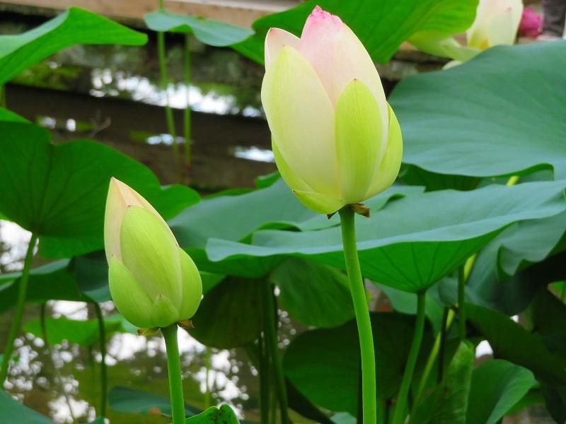三種類の花が咲く「ハスの花」20190707_e0237645_23021668.jpg