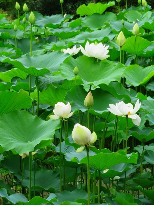 純白の「ハス」の花20190707_e0237645_23143279.jpg