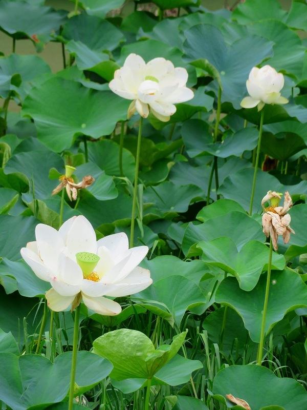 純白の「ハス」の花20190707_e0237645_23165827.jpg