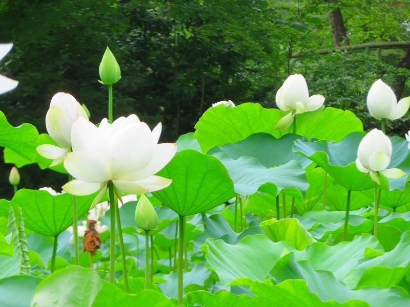 純白の「ハス」の花20190707_e0237645_23165844.jpg