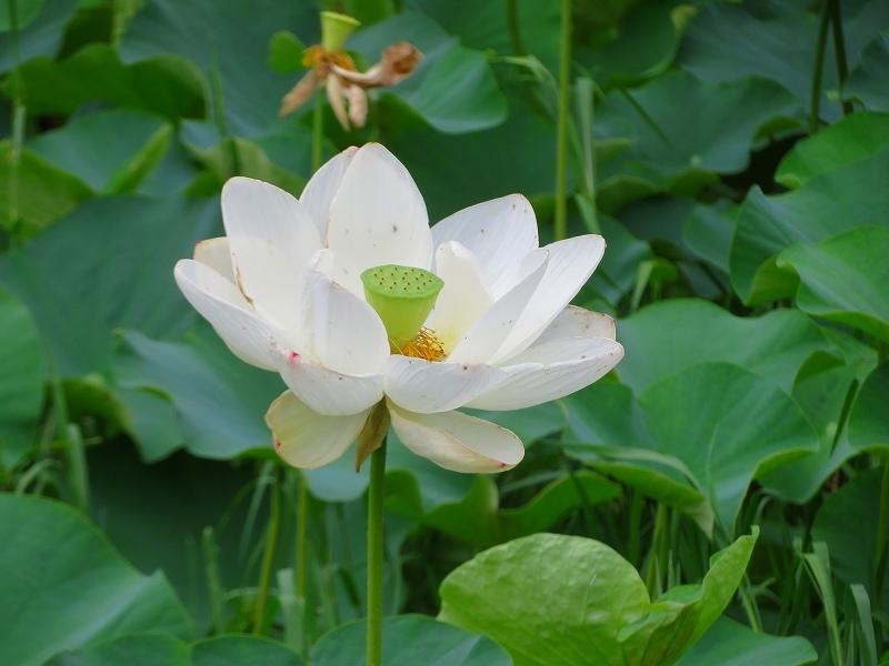 純白の「ハス」の花20190707_e0237645_23165919.jpg