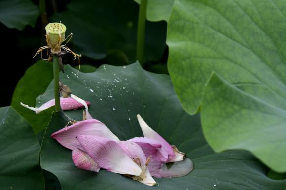 花はす(2)_c0093046_18431190.jpg